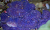 Rhodactis_Purple